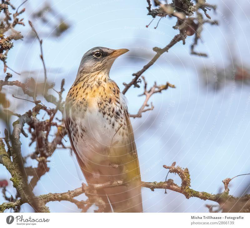 Wacholderdrossel im Baum Himmel Natur blau weiß Tier schwarz gelb Auge natürlich orange Vogel leuchten Wildtier sitzen Feder