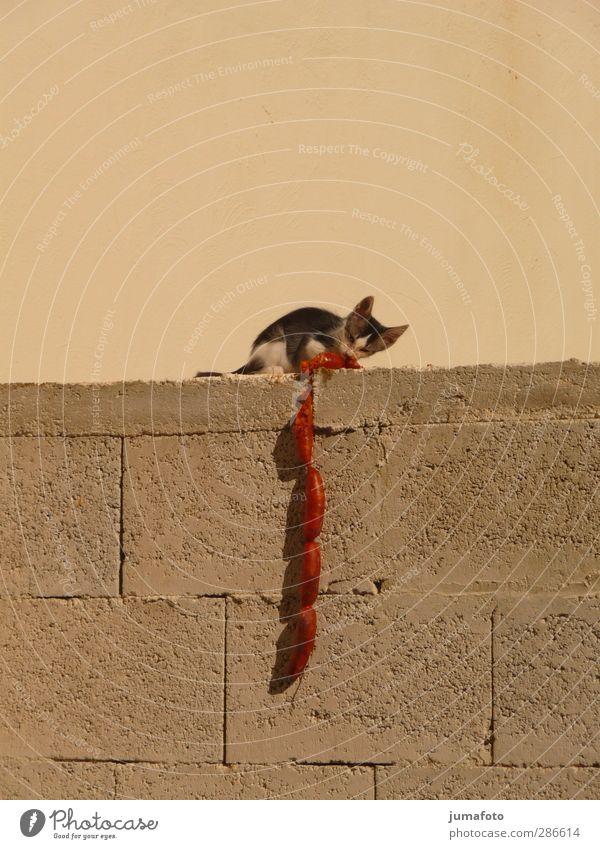 Wurst der Katze Haustier 1 Tier Tierjunges Fährte Essen füttern sitzen Armut dick dünn groß klein lang lecker lustig niedlich klug schleimig braun rot Stimmung