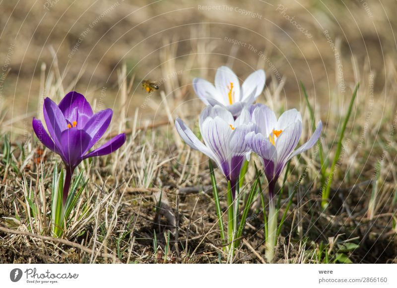 Flowers of spring crocus Natur Pflanze Blüte springen Frühlingsgefühle Blossoms animal bee bee pollen beekeeper blooming copy space flowers glow honey insect