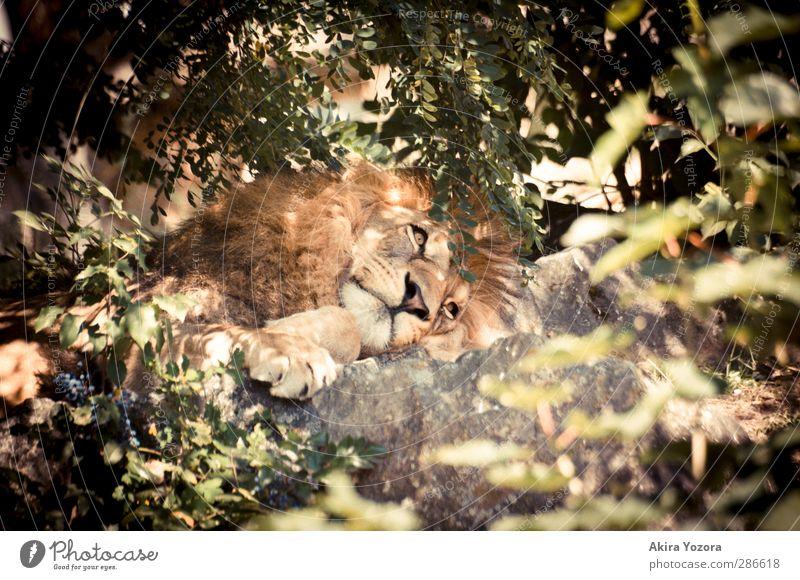 Dreaming Lion Natur grün weiß Sommer rot Tier Blatt Erholung Umwelt grau Stein Denken braun liegen außergewöhnlich orange