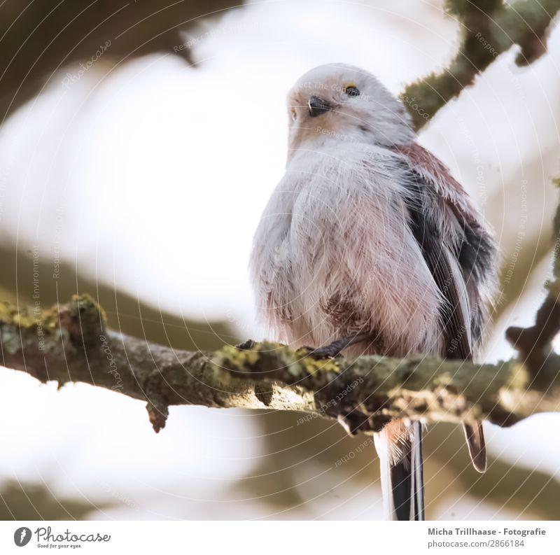 Aufgeplusterte Schwanzmeise im Baum Natur Tier Himmel Sonnenlicht Schönes Wetter Zweige u. Äste Wildtier Vogel Tiergesicht Flügel Krallen Meisen Schnabel Auge