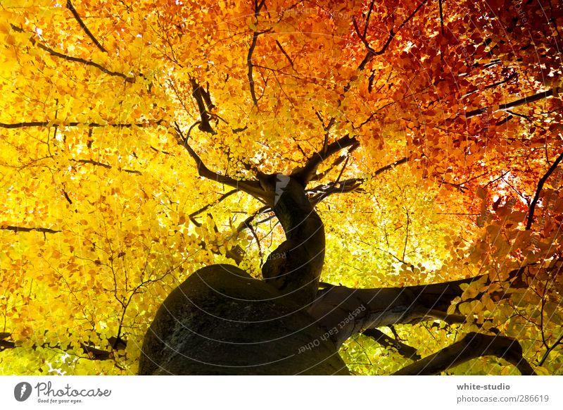 Die Adern des Lebens Sommer Baum Blatt gelb Herbst Holz orange Wachstum Vergänglichkeit Ast Lebensfreude Jahreszeiten Baumstamm Baumkrone Herbstlaub