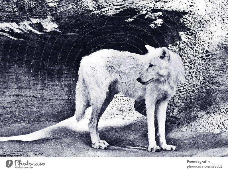 Wolf Sonne Zoo Felsen Verkehr Tier Wildtier 1 Stein wild weiß Schwarzweißfoto Außenaufnahme Menschenleer Licht Schatten Tierporträt Ganzkörperaufnahme Profil