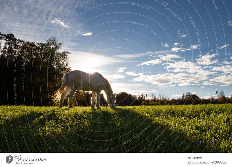 Schimmel Umwelt Natur Landschaft Pflanze Tier Himmel Wolken Wetter Gras Wiese Feld Nutztier Pferd 1 Fressen stehen blau grün weiß Reiten Reiterhof Reitsport