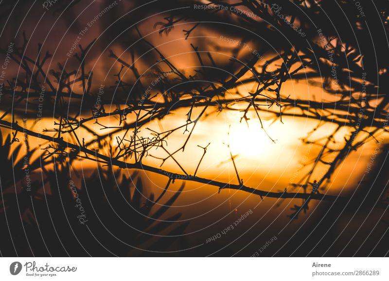 schöner Abschied Natur Himmel Nachthimmel Sonnenaufgang Sonnenuntergang Wetter Schönes Wetter Sträucher Zweige u. Äste leuchten Kitsch natürlich gold orange