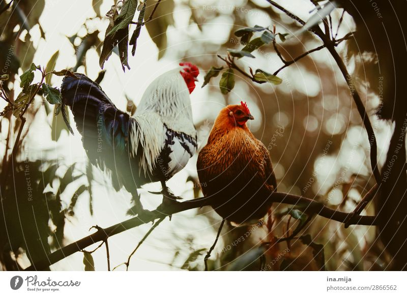 Kikeriki Tier Haustier Nutztier Vogel Tiergesicht Flügel 2 Tierpaar Tierfamilie wild Leben Lebensfreude nachhaltig Natur Zufriedenheit Haushuhn Hahn Federvieh