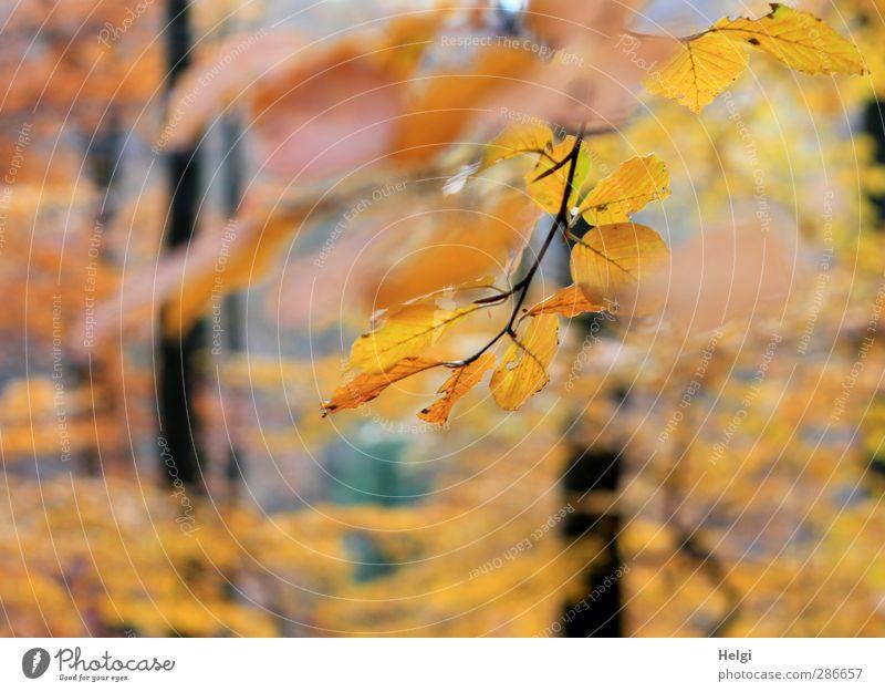 Durchblick... Umwelt Natur Landschaft Pflanze Herbst Schönes Wetter Baum Blatt Buche Buchenblatt Zweig Wald Buchenwald hängen leuchten dehydrieren ästhetisch