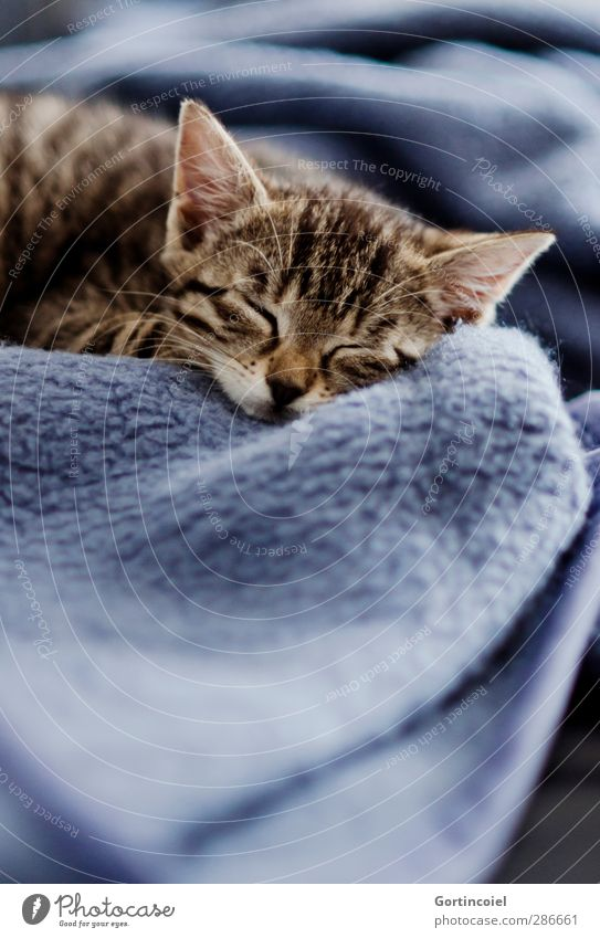 Kitten Katze schön Tier ruhig Erholung Tierjunges träumen schlafen niedlich Fell zart Tiergesicht Müdigkeit Haustier sanft Decke