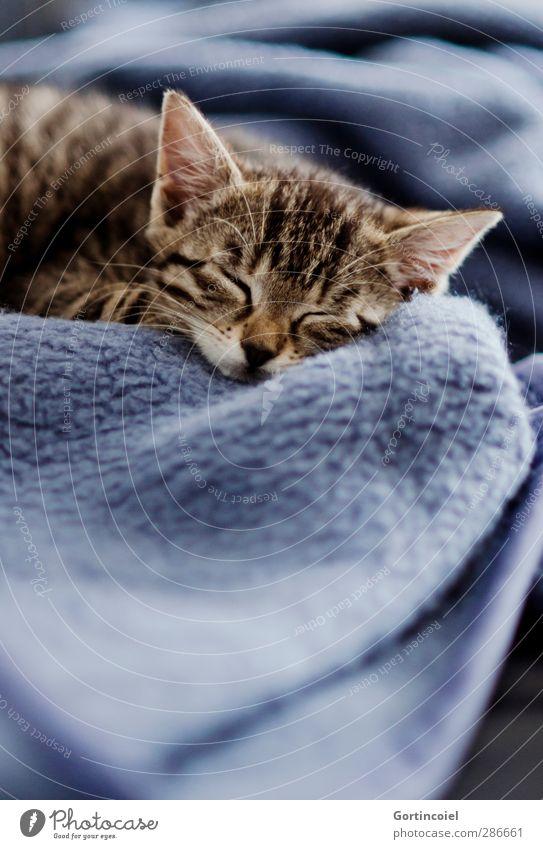 Kitten Tier Haustier Katze Tiergesicht Fell 1 Tierjunges schlafen niedlich Katzenbaby Decke träumen Müdigkeit schön sanft zart ruhen Erholung ruhig Tigerkatze
