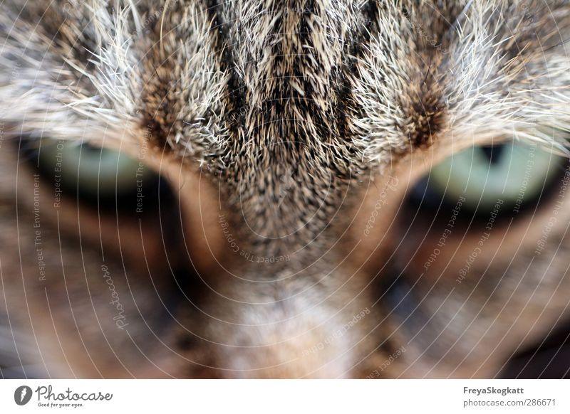 Kein Schritt näher! Katze Tier braun warten gefährlich Abenteuer Coolness Fell Mut entdecken Wachsamkeit Haustier wählen klug Erfahrung geduldig