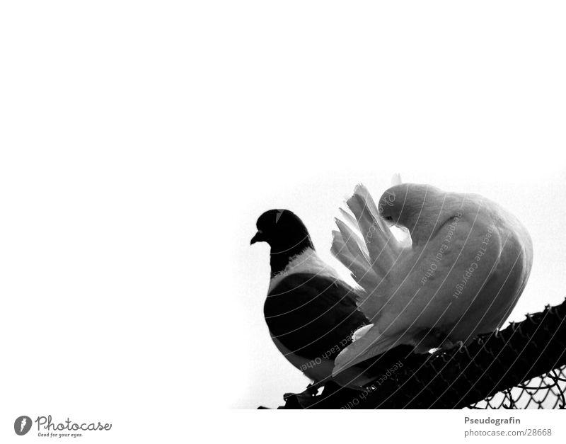 Tauben auf dem Dach Tier Haustier Nutztier 2 Tierpaar Reinigen sitzen Brieftaube Maschendraht Feder Schwarzweißfoto Außenaufnahme Textfreiraum links