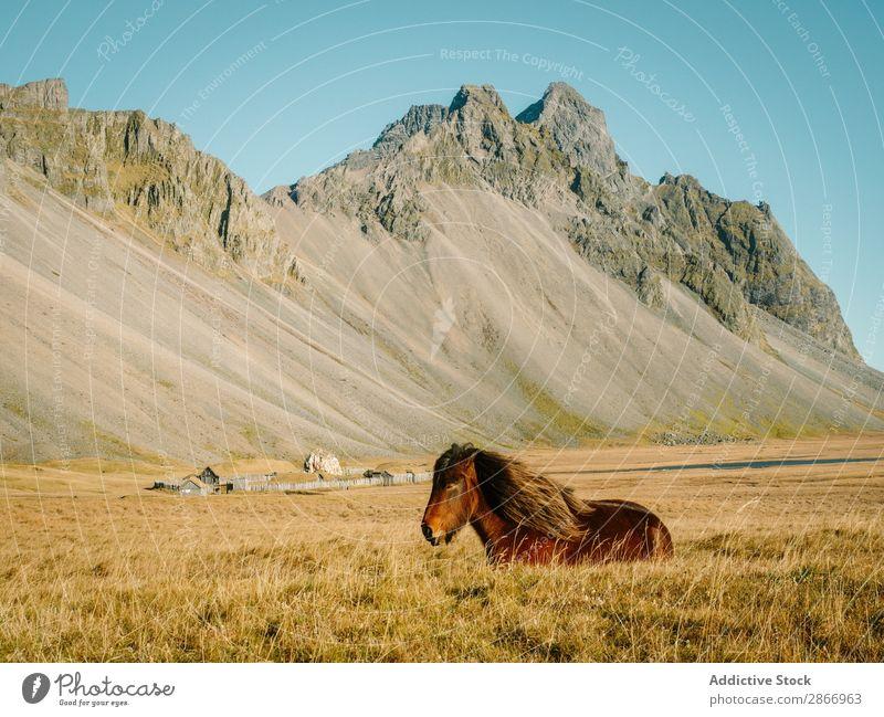 Pferdeweide auf dem Feld nahe dem Berg bei Sonnenschein Berge u. Gebirge weidend Schönes Wetter Island Gras regenarm Hügel Haustier schön Stein Wiese Bauernhof