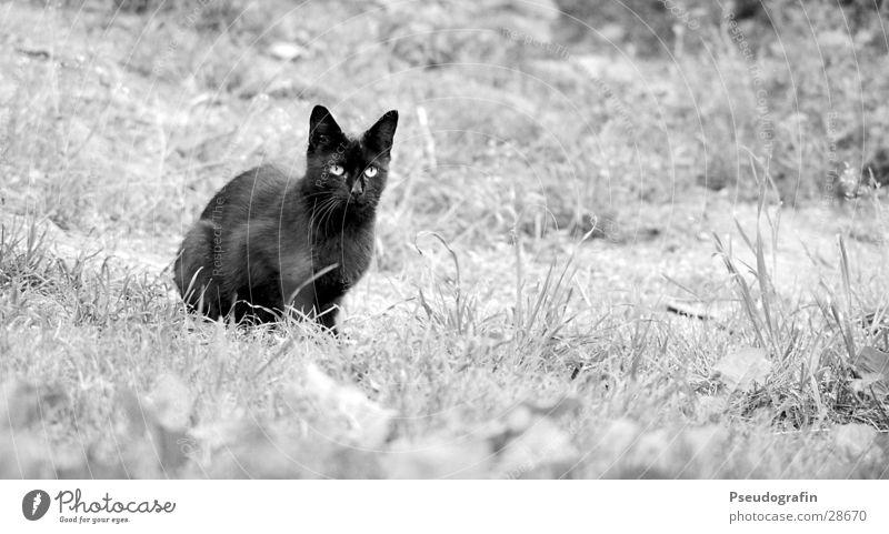 black cat Wiese Tier Haustier Katze 1 beobachten hocken Blick sitzen schwarz Schwarzweißfoto Außenaufnahme Textfreiraum rechts Tag Tierporträt