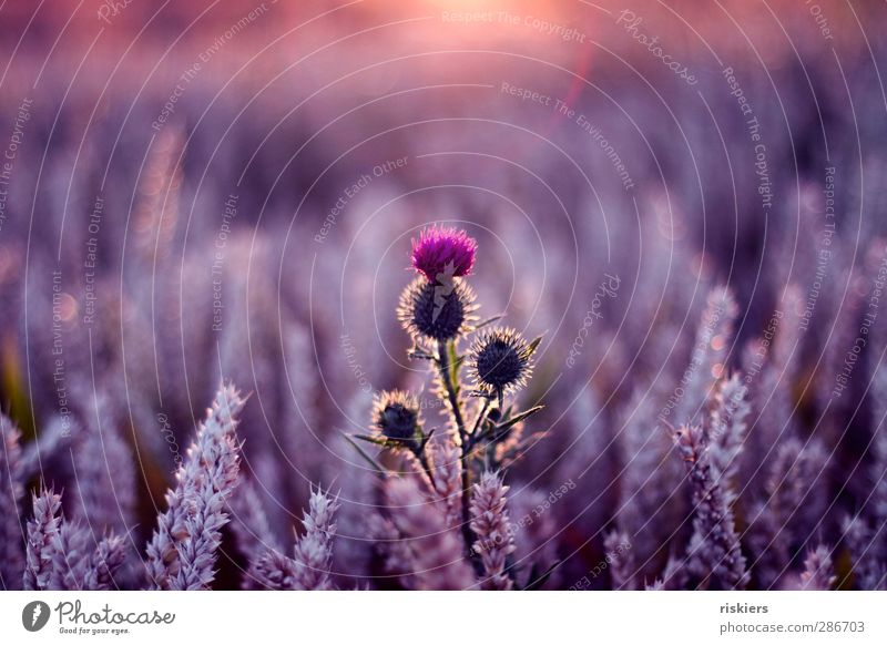 tapferes herz Umwelt Natur Landschaft Pflanze Tier Sonne Sonnenaufgang Sonnenuntergang Sonnenlicht Sommer Schönes Wetter Distel Feld violett rosa Zufriedenheit