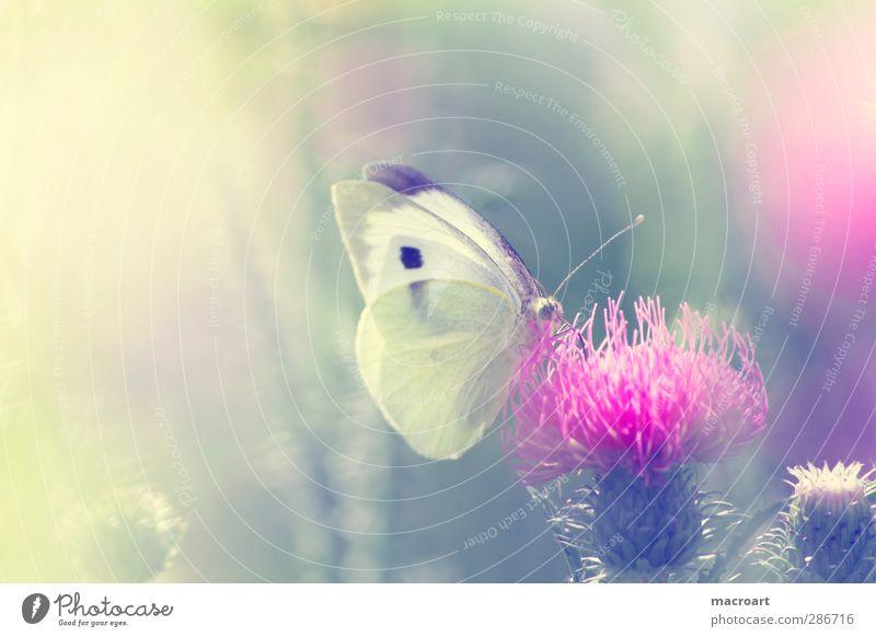 kohlweißling auf distel Natur grün schön Sommer Pflanze Blume Tier Wiese Frühling Blüte rosa Wachstum Insekt Schmetterling Botanik