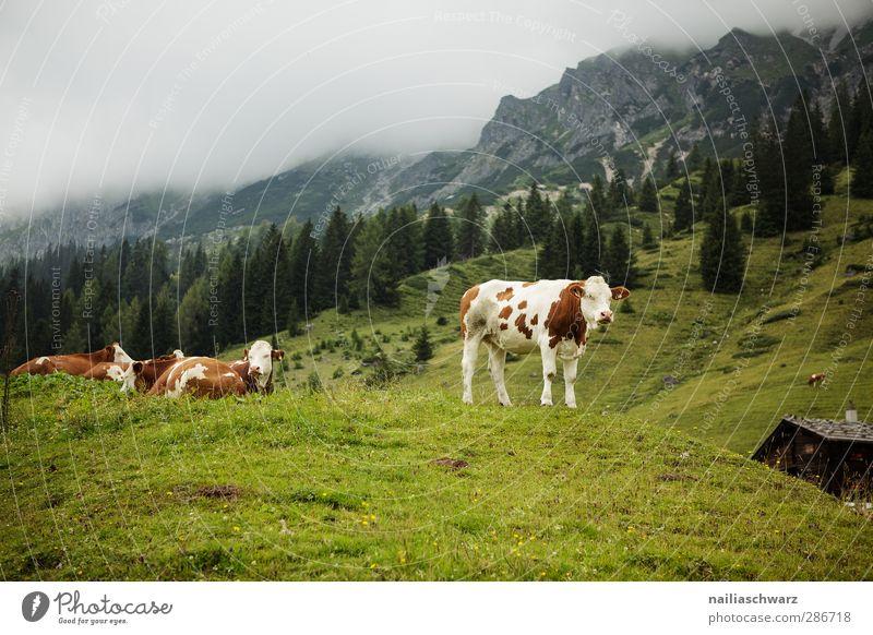 Auf der Alm Ferien & Urlaub & Reisen Berge u. Gebirge wandern Landwirtschaft Forstwirtschaft Natur Landschaft Pflanze Tier Sommer Gras Wiese Alpen Nutztier Kuh