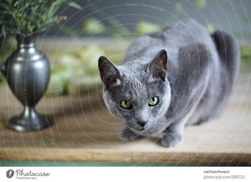 Bonifazia Katze blau grün schön Tier Holz grau liegen glänzend Zufriedenheit elegant Tisch niedlich beobachten Neugier Frieden