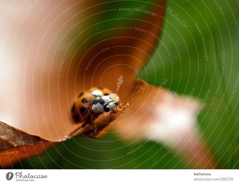 ... & Pünktchen Umwelt Natur Pflanze Tier Sonnenlicht Herbst Wetter Schönes Wetter Gras Blatt Garten Park Wiese Wildtier Käfer 1 krabbeln sitzen braun grün rot