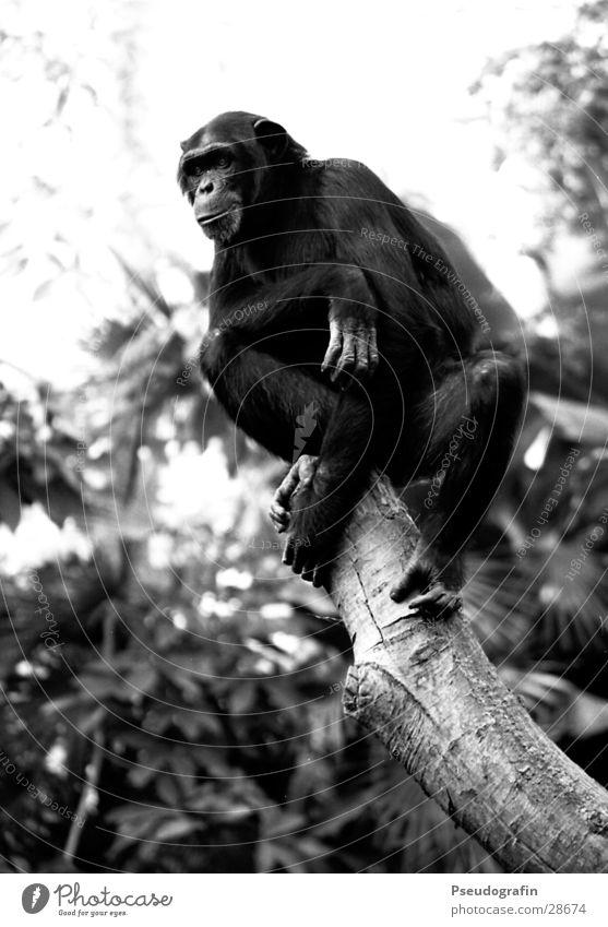 Schimpanse, der runterguckt. Zoo Tier Wildtier 1 Blick sitzen Affen Schimpansen Körperhaltung Schwarzweißfoto Außenaufnahme Tag