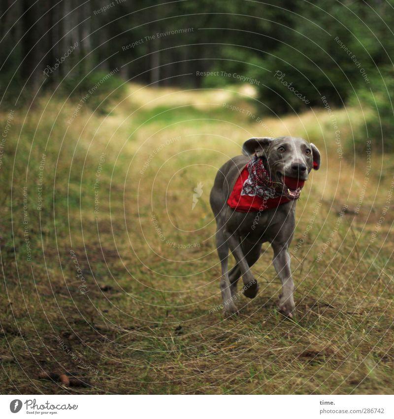 es geht ihr wirklich gut Umwelt Natur Landschaft Wald Tier Haustier Hund 1 beobachten laufen rennen sportlich Gesundheit feminin Euphorie Kraft Willensstärke
