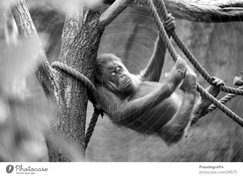 mal so richtig abhängen Seil Zoo Tier Wildtier 1 festhalten liegen schlafen Orang-Utan Schwarzweißfoto Außenaufnahme Tag Tierporträt