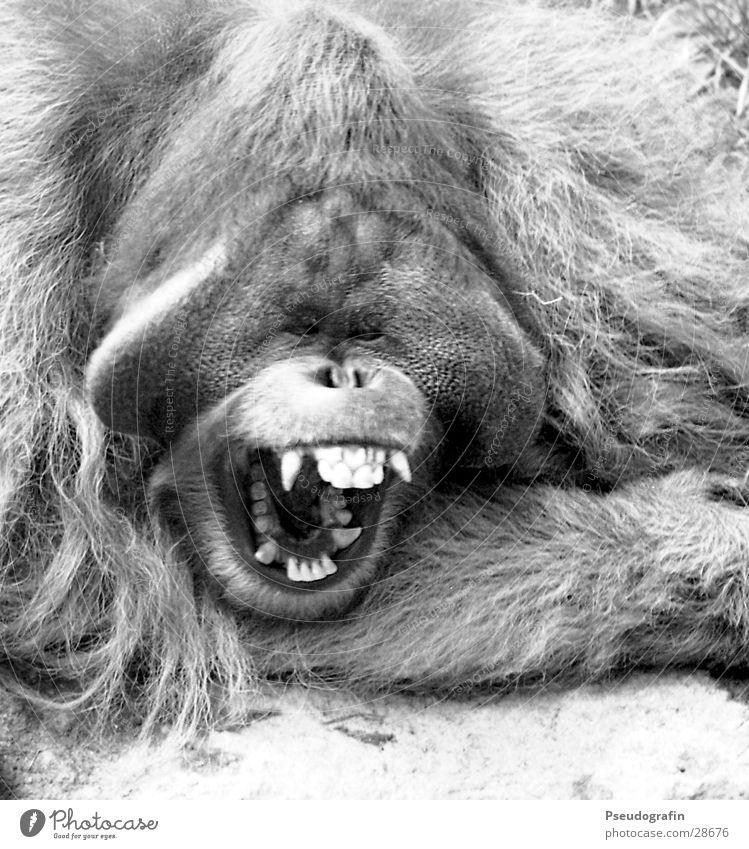 *gääähn* Zoo Tier Wildtier 1 schreien Müdigkeit Orang-Utan Schnauze gähnen Gebiss Maul Schwarzweißfoto Außenaufnahme Nahaufnahme Tag Tierporträt