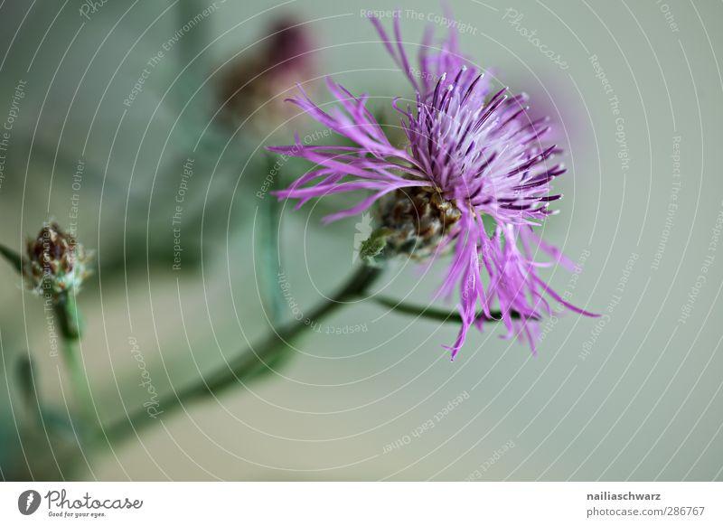 Distel Natur Pflanze Blume Blüte Grünpflanze Wildpflanze Wiesenblume Blühend Duft Wachstum frisch natürlich schön wild grau grün violett Reinheit Farbe