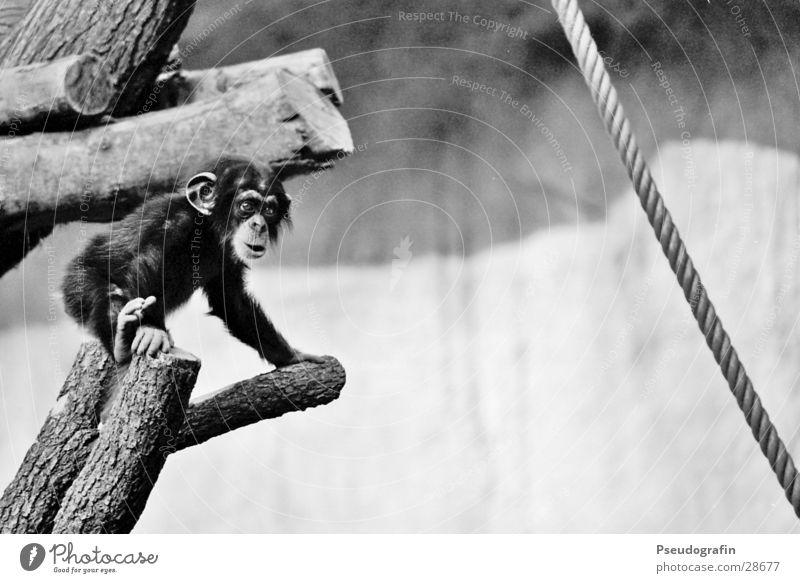 Baby Klettern Bergsteigen Seil Zoo Tier Wildtier 1 Tierjunges beobachten Bewegung entdecken kuschlig klein niedlich Schimpansen Schwarzweißfoto Außenaufnahme