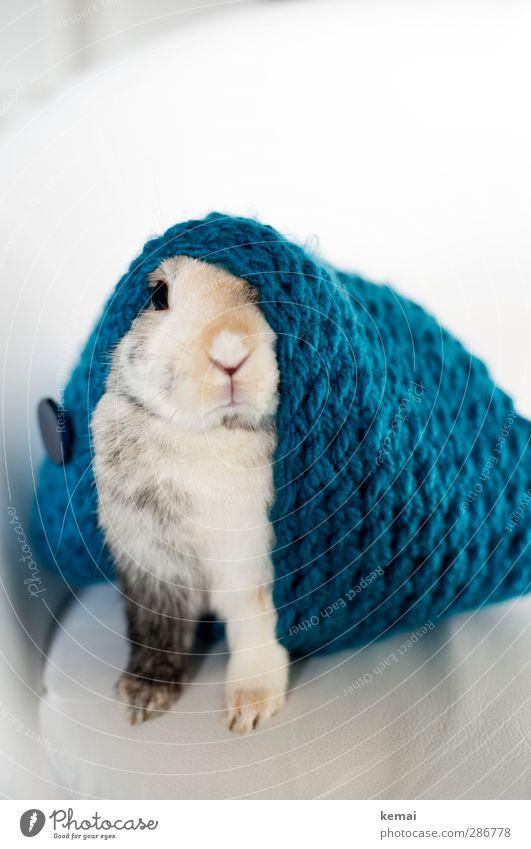 König Schal blau Tier Stil Wohnung sitzen elegant Lifestyle niedlich Coolness Ostern Fell Tiergesicht Haustier Hase & Kaninchen Pfote Stolz