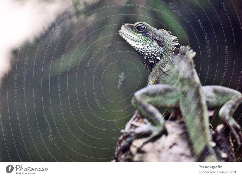 dragon Zoo Tier Wildtier 1 Freundlichkeit Neugier grün Echsen Reptil Drache Schwanz Farbfoto Gedeckte Farben Außenaufnahme Menschenleer Textfreiraum links