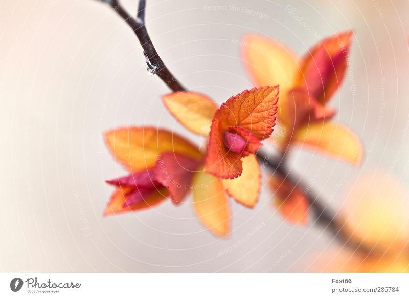 bald ist Frühling Natur Pflanze Sonnenlicht Schönes Wetter Blatt Spierstrauch Garten frisch Gesundheit schön klein natürlich blau gelb orange weiß Stimmung