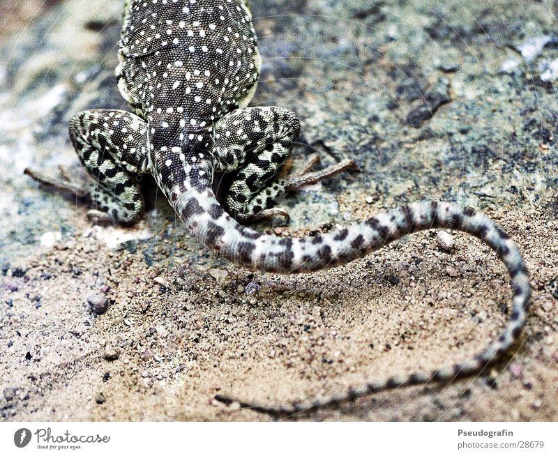 kleines, geschupptes Hinterteil Tier Wildtier festhalten Zoo krabbeln Schwanz Reptil Echsen Schuppen