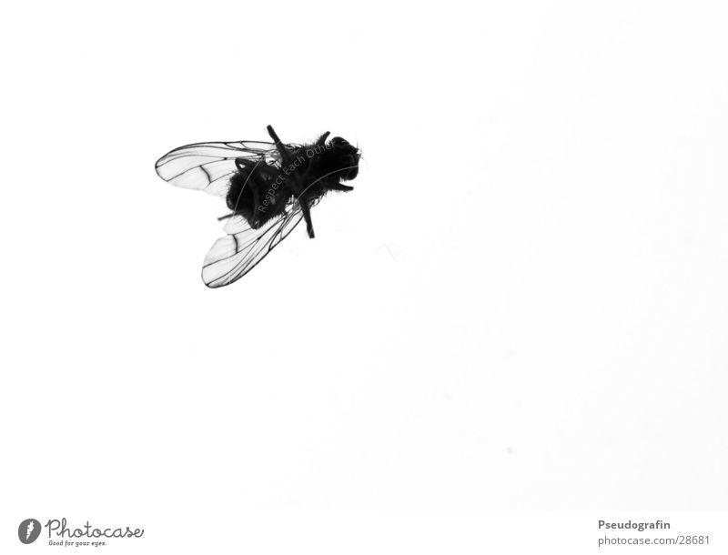 Rückenlage Tier Totes Tier Fliege Flügel 1 Ekel schwarz Tod Ende Insekt Schwarzweißfoto Innenaufnahme Nahaufnahme Detailaufnahme Makroaufnahme Menschenleer