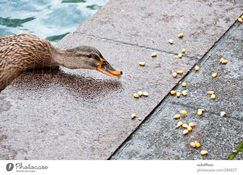 Wendehals Tier 1 Fressen füttern Ente Entenvögel Stockente Vogel Mais Futter Maiskorn Wasser Boden Beton Hals langhalsig Schnabel Angst Ecke Am Rand strecken