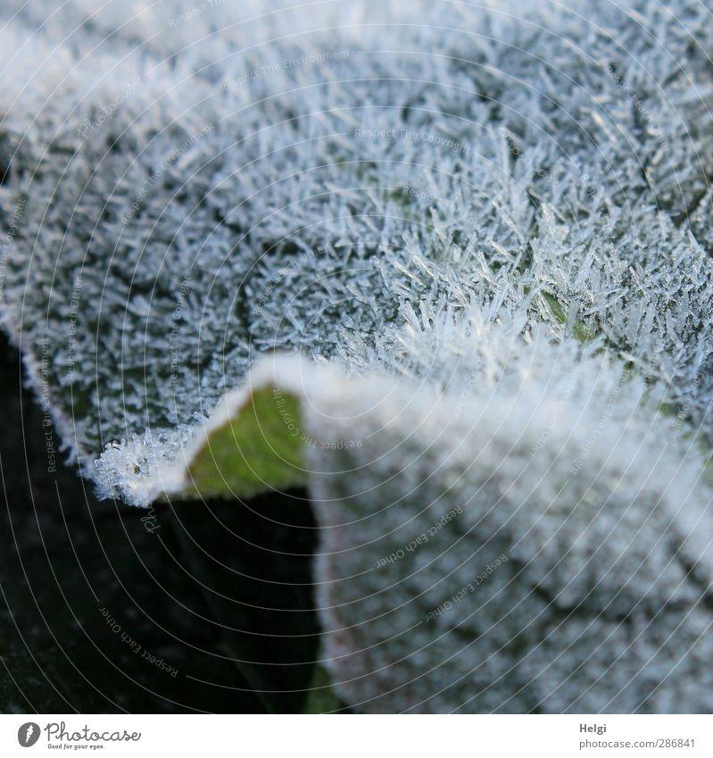 eisiger Pelz... Natur grün weiß Pflanze Blatt Umwelt kalt Herbst grau klein Eis liegen natürlich außergewöhnlich glänzend authentisch
