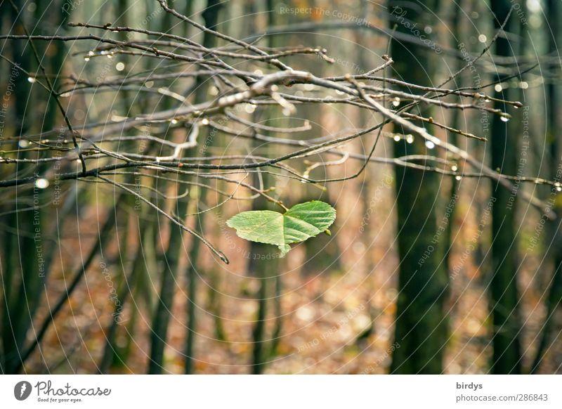 Beharrlichkeit im Herbstwald Natur Wassertropfen Baum Blatt Wald glänzend ästhetisch authentisch natürlich positiv braun grün standhaft Einsamkeit Gelassenheit