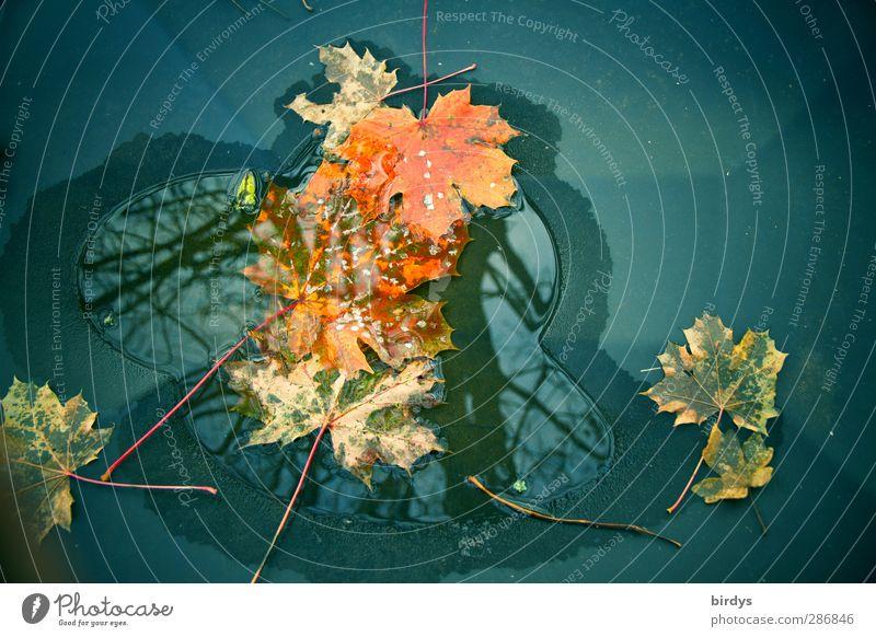 kleine Herbstpfütze Wasser Ahornblatt leuchten verblüht ästhetisch außergewöhnlich einzigartig Wandel & Veränderung Pfütze Herbstlaub herbstlich