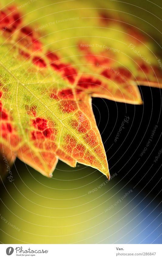Tschüß Herbst! Natur Pflanze Blatt Wein Blattadern Spitze gelb rot Farbfoto mehrfarbig Außenaufnahme Nahaufnahme Detailaufnahme Makroaufnahme Menschenleer