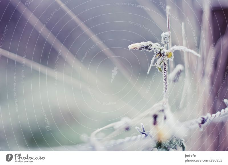 Blume eiskandiert Umwelt Natur Pflanze Eis Frost kalt Löwenzahn gefroren Kristalle Stacheldraht Raureif Winter Herbst Farbfoto Gedeckte Farben Außenaufnahme