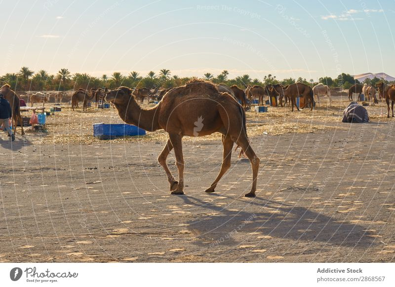 Herde vieler Kamele an Land Wüste Marrakesch Marokko weidend Himmel Sand Landen Natur blau Ferien & Urlaub & Reisen Afrika Tourismus heiß Karavane Abenteuer