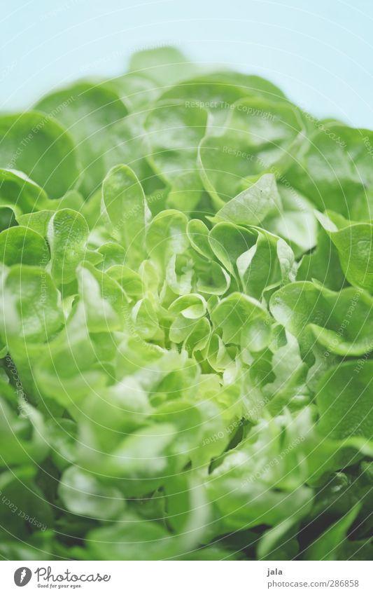 salatkopf blau grün Gesundheit natürlich Lebensmittel frisch Ernährung Appetit & Hunger lecker Bioprodukte Diät Vitamin Salat Salatbeilage