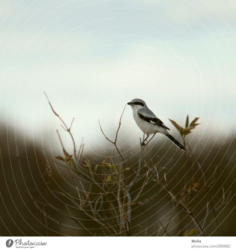 Vogel Umwelt Natur Tier Baum Sträucher Ast Geäst Raubwürger Sperlingsvögel 1 hocken sitzen frei klein natürlich niedlich Freiheit einzeln Farbfoto Außenaufnahme