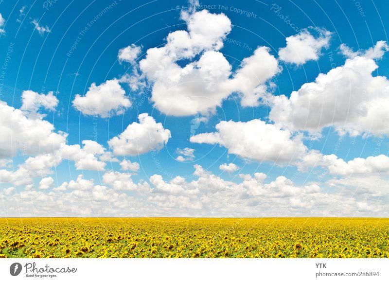 Fields of Gold Ernährung Bioprodukte Umwelt Natur Landschaft Pflanze Himmel Wolken Klima Wetter Schönes Wetter Blume Nutzpflanze Wiese Feld Wachstum Gesundheit