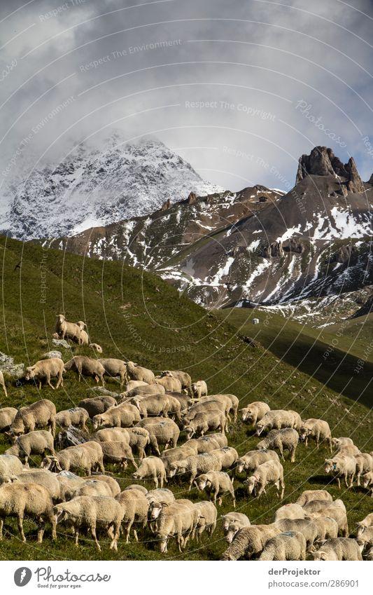 Schafherde in Savoier Alpen Natur Landschaft Pflanze Tier Wolken Sommer Gras Feld Felsen Berge u. Gebirge Gipfel Schneebedeckte Gipfel Nutztier Fell Herde alt