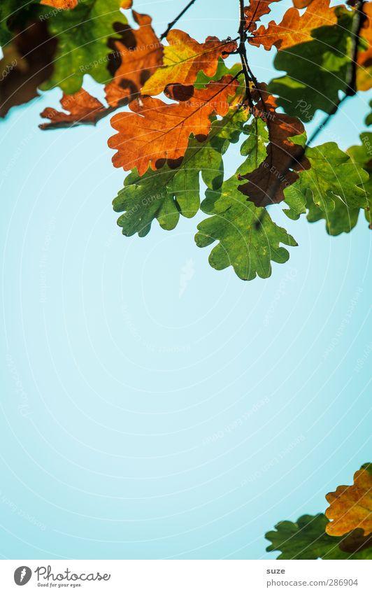 Eichenlaub Umwelt Natur Pflanze Himmel Herbst Schönes Wetter Blatt hängen ästhetisch schön natürlich blau grün orange Herbstlaub herbstlich Jahreszeiten