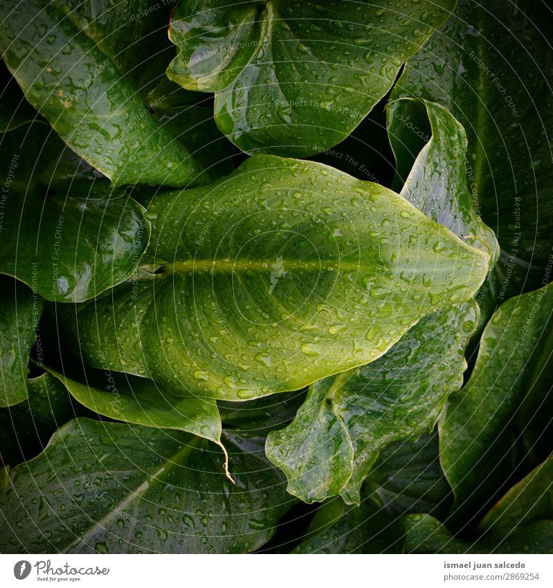 grüne Pflanze Blätter Textur Blatt Tropfen Regen glänzend hell Garten geblümt Natur abstrakt Konsistenz frisch Außenaufnahme Hintergrund Beautyfotografie