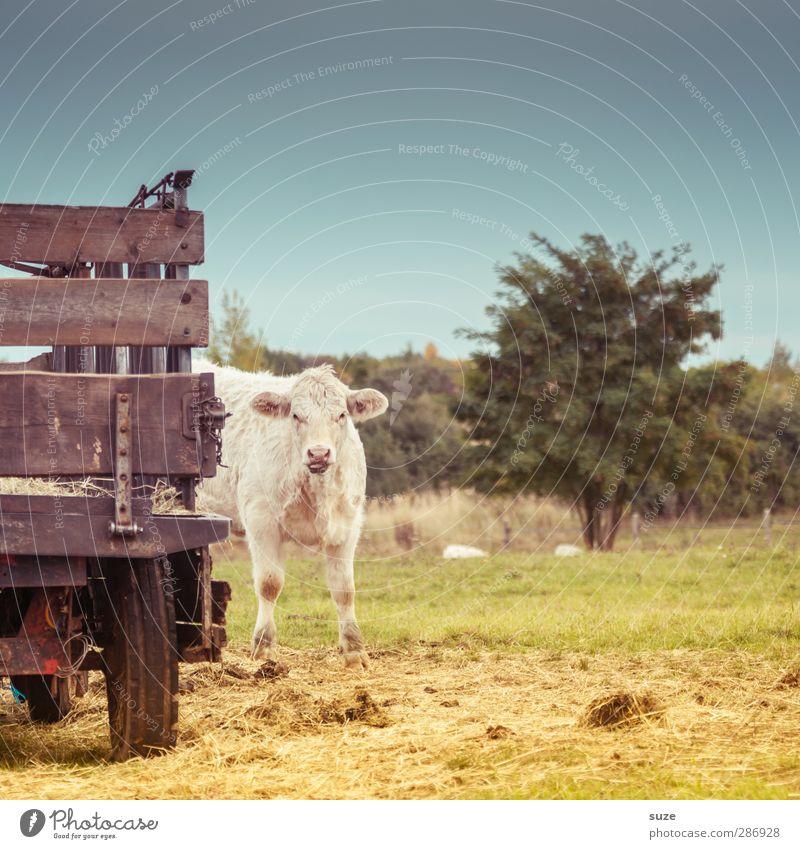 Kühchn Umwelt Natur Tier Himmel Sommer Schönes Wetter Baum Wiese Lastwagen Anhänger Nutztier Kuh 1 Tierjunges klein natürlich niedlich schön Ochse Landleben