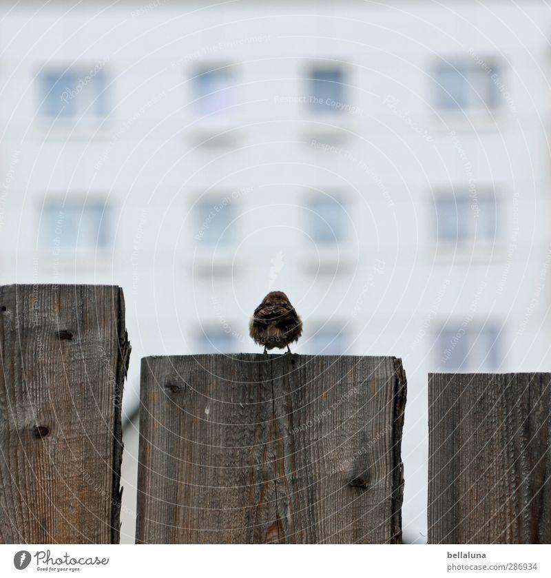 300 | Wenn ich groß bin, werd ich Spießer! Natur weiß Tier Haus Fenster Holz grau Vogel braun Wildtier sitzen warten Schönes Wetter Flügel Zaun Holzbrett