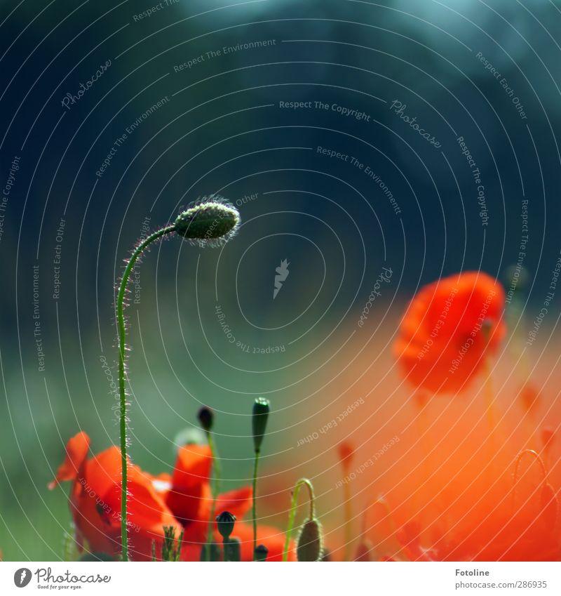 Für Bella Umwelt Natur Pflanze Sommer Blume Blüte Garten Feld hell natürlich schön rot Mohn Mohnblüte Blütenknospen Mohnfeld Farbfoto mehrfarbig Außenaufnahme