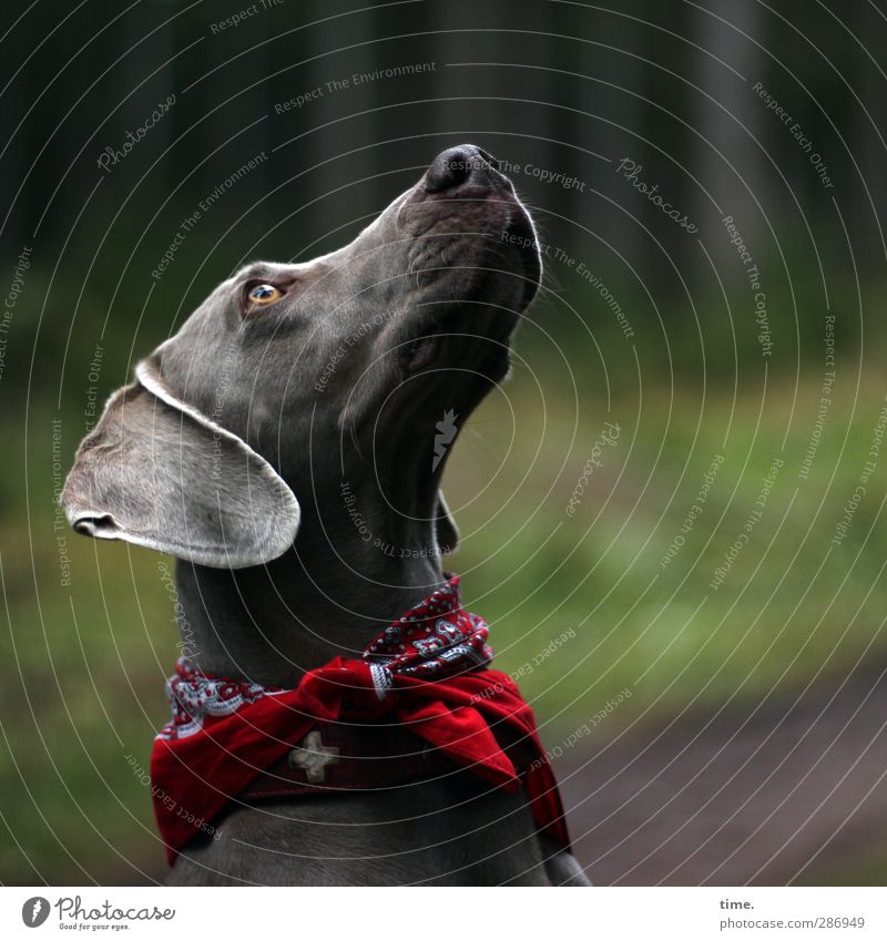 nur manchmal ... Umwelt Herbst Wald Tier Haustier Hund Tiergesicht Weimaraner 1 Blick Hundehalsband Tuch beobachten einzigartig Wärme weich Wachsamkeit